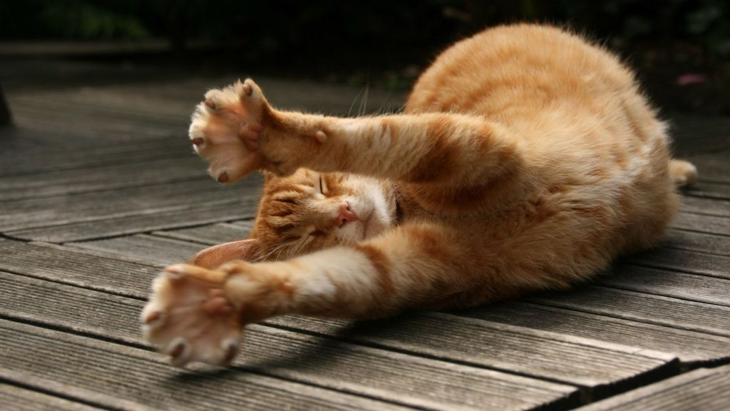 cat-stretching-in-its-sleep-animal-animals-1920x1080-wallpaper566